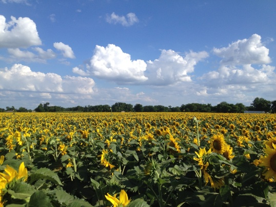 Fields of Sunflowers in Ennis TX